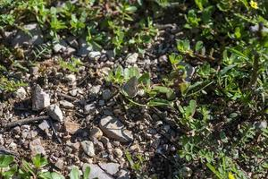 Polymmatus iacarus butterfly descansando en el suelo foto