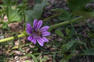 flor de malva con una abeja foto