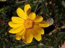 una flor de margarita amarilla común foto