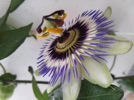 flor de la pasión abierta de color púrpura foto