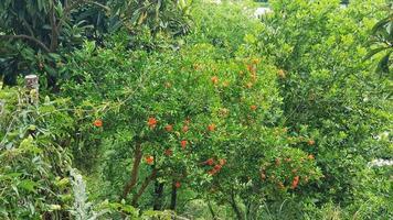 planta de granada en flor foto