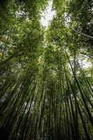 bamboo reeds seen from below photo