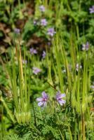 the olsynium douglasii photo