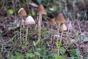 familia de setas silvestres nacidas en un bosque foto