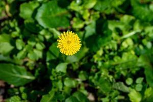 yellow dandelion flower photo
