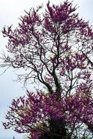 tree with purple leaves photo