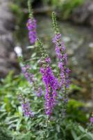 Selciarella planta con flores de color púrpura. foto
