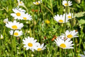 flor de margaritas para la preparación de la infusión de manzanilla foto