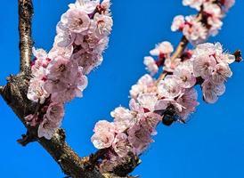flor de durazno con insecto foto