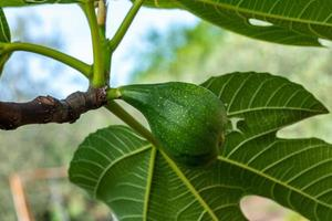 the fig plant photo