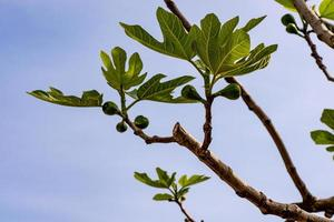 growing fig plant photo