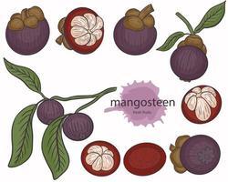 Mangosteen set vector