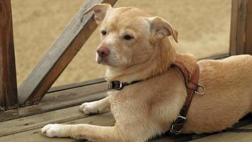 cachorro labrador marrom claro em uma passarela de madeira, senta-se com olhos tristes e olha ao redor. video