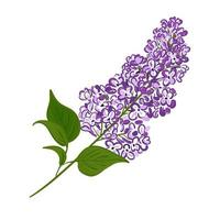 Blooming purple branch of lilac. Vector illustration of a plant hand drawn on an isolated white background