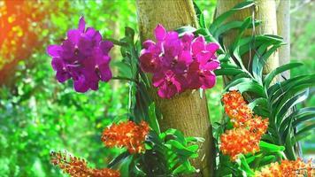 fiore di orchidea viola rossa che sboccia e sfoca lo sfondo delle foglie verdi al mattino video