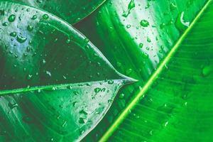 Ficus elastica hojas con gotas de agua de cerca la naturaleza de fondo foto