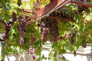 Ripe grapes on grapevine, on a summer day photo