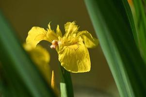 iris japonés amarillo brillante foto