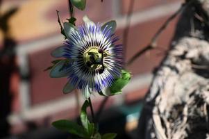 planta trepadora floreciente pasiflora foto