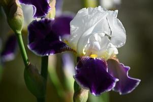 gran flor de iris abigarrado flor foto