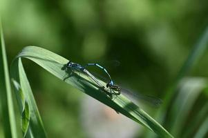 Two dragonflies on a green leaf photo
