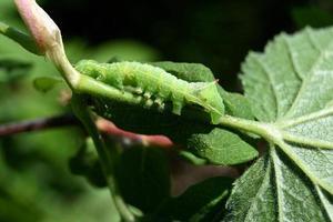 Green worm on a leaf photo