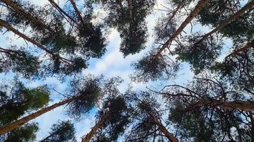 hohe Nadelbäume gegen den blauen Himmel video