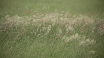Alfalfa Cultivation Flowing Field video