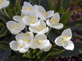 Pure white flowers of shining white Weldenia candida photo