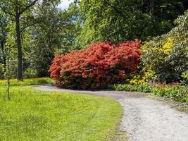 Beautiful orange Rhododendron shrub flowering in a park photo