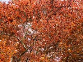 Orange leaves on a copper beech tree seen from below photo