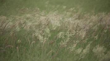 campo de cultivo de alfafa na brisa video