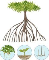 Mangrove tree with elements isolated on white background vector