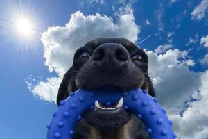 Black dog face with blue toy, funny, close-up on sky background photo