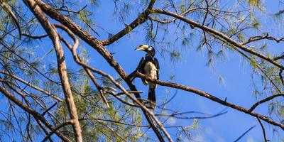 Hornbill on the tree photo