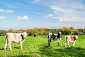 tres vacas en una granja foto