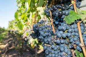 A vineyard view photo