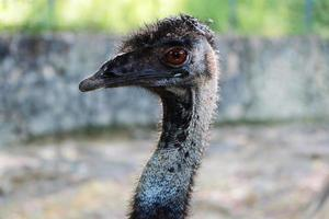 Ostrich, close up of the head photo