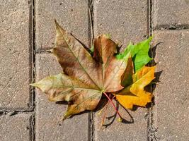 Three autumn maple leaves of different colors - yellow, green, brown. Leaves are on the sidewalk tiles. The end of September in Russia. photo