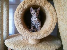 lindo gatito de bengala sentado en el círculo peludo foto