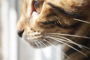 Bengal cats face with huge brown eye photo