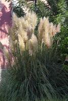 Pluma de pampas colocada en un jardín. foto