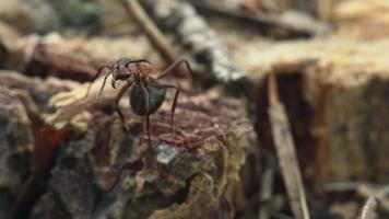 Red wood ant video