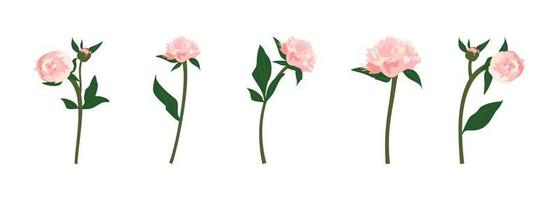 Set of delicate pink spring and summer peonies flowers with stems leaves and buds Decoration for cards weddings holidays and other designs vector