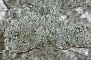 Branches of frozen bushes photo