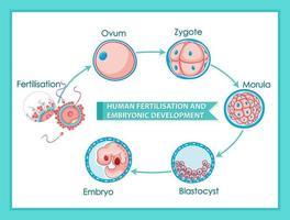 Human fertilisation and embryonic development diagram vector