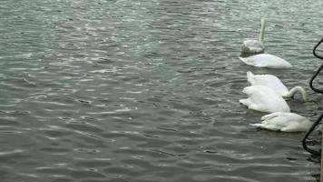 vita svanar på vattnet video