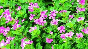 rosa Madagasca-Immergrün, rosa Immergrün-grüne Blätter im Garten video