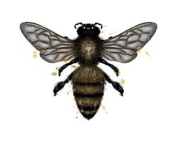 Bee, wasp from a splash of watercolor, colored drawing, realistic. Vector illustration of paints