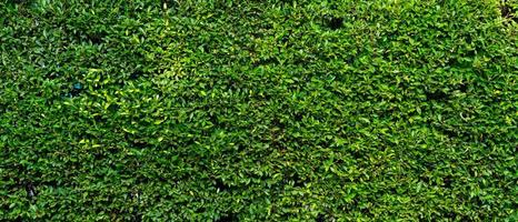 Banner picture of green plant wall of the house photo